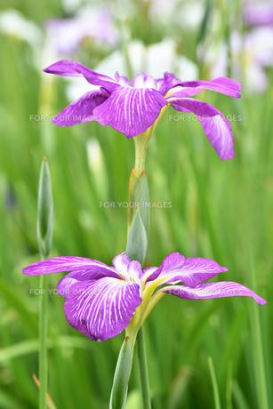 菖蒲の花の写真素材 [FYI01208561]