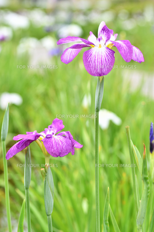 菖蒲の花の写真素材 [FYI01208563]