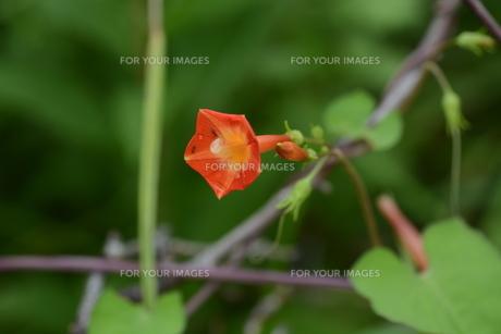 マルバルコウソウ (丸葉縷紅草)の写真素材 [FYI01208571]