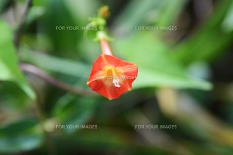 マルバルコウソウ (丸葉縷紅草)の写真素材 [FYI01208572]
