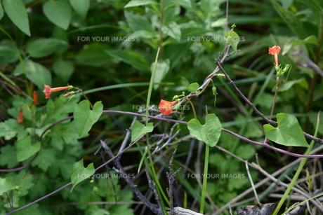 マルバルコウソウ (丸葉縷紅草)の写真素材 [FYI01208575]