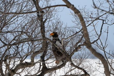 オオワシ 大鷲の写真素材 [FYI01208591]