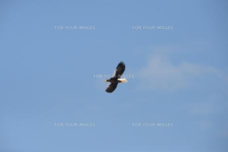 オオワシ 大鷲の写真素材 [FYI01208592]