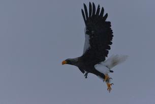オオワシ 大鷲の写真素材 [FYI01208593]