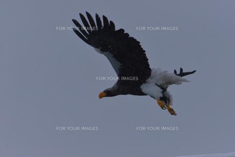 オオワシ 大鷲の写真素材 [FYI01208594]