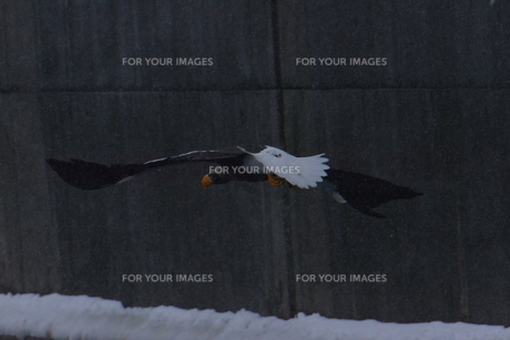 オオワシ 大鷲の写真素材 [FYI01208595]