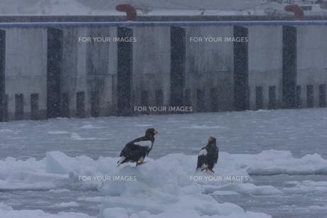 オオワシ 大鷲の写真素材 [FYI01208596]