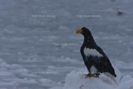 オオワシ 大鷲の写真素材 [FYI01208597]