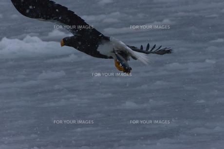 オオワシ 大鷲の写真素材 [FYI01208598]