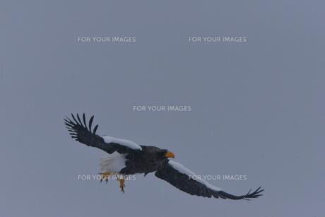 オオワシ 大鷲の写真素材 [FYI01208599]