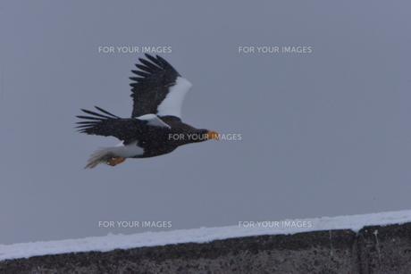 オオワシ 大鷲の写真素材 [FYI01208600]