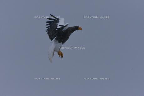 オオワシ 大鷲の写真素材 [FYI01208601]