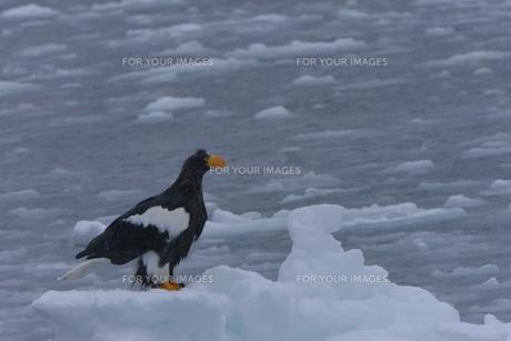 オオワシ 大鷲の写真素材 [FYI01208602]