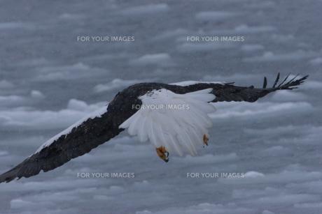 オオワシ 大鷲の写真素材 [FYI01208603]