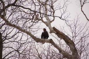 オオワシ 大鷲の写真素材 [FYI01208604]