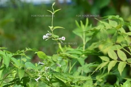 ヘクソカズラ ・ 葉、茎に悪臭。半面薬効もあり また肌に潤いを与える美肌効果もある。の写真素材 [FYI01208605]
