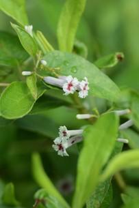 ヘクソカズラ ・ 葉、茎に悪臭。半面薬効もあり また肌に潤いを与える美肌効果もある。の写真素材 [FYI01208606]