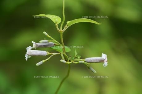 ヘクソカズラ ・ 葉、茎に悪臭。半面薬効もあり また肌に潤いを与える美肌効果もある。の写真素材 [FYI01208607]