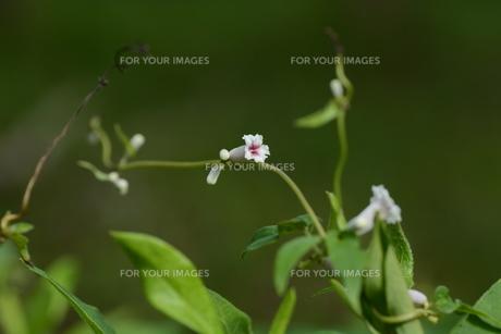 ヘクソカズラ ・ 葉、茎に悪臭。半面薬効もあり また肌に潤いを与える美肌効果もある。の写真素材 [FYI01208608]