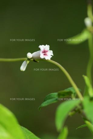 ヘクソカズラ ・ 葉、茎に悪臭。半面薬効もあり また肌に潤いを与える美肌効果もある。の写真素材 [FYI01208609]