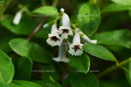 ヘクソカズラ ・ 葉、茎に悪臭。半面薬効もあり また肌に潤いを与える美肌効果もある。の写真素材 [FYI01208610]