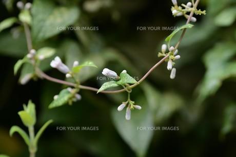 ヘクソカズラ ・ 葉、茎に悪臭。半面薬効もあり また肌に潤いを与える美肌効果もある。の写真素材 [FYI01208611]