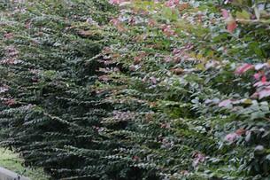紅花トキワマンサクの写真素材 [FYI01208612]