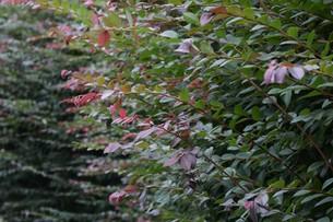 紅花トキワマンサクの写真素材 [FYI01208613]