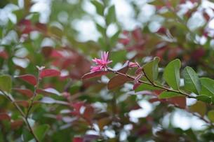 紅花トキワマンサクの写真素材 [FYI01208614]