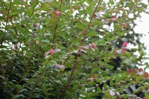 紅花トキワマンサクの写真素材 [FYI01208616]