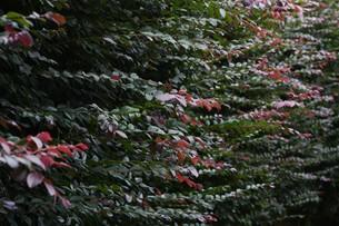 紅花トキワマンサクの写真素材 [FYI01208617]