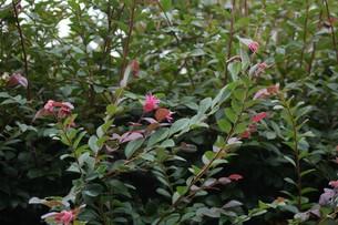 紅花トキワマンサクの写真素材 [FYI01208618]