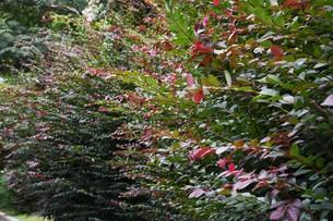 紅花トキワマンサクの写真素材 [FYI01208619]