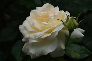 チャイコフスキー薔薇の写真素材 [FYI01208620]