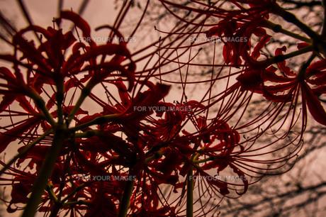 彼岸花の写真素材 [FYI01208621]