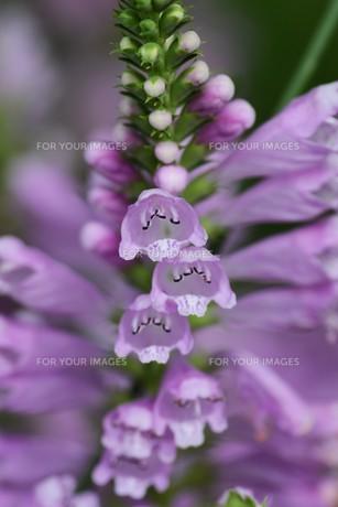 ハナトラノオ(花虎の尾)・別名 カクトラノオ(角虎の尾)の写真素材 [FYI01208632]