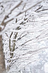 木々に積もる雪の写真素材 [FYI01208661]