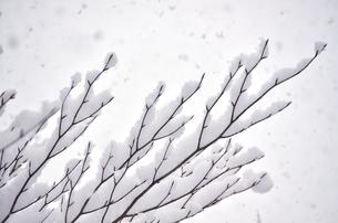 枝に積もる雪の写真素材 [FYI01208664]