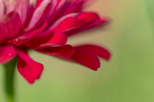 赤い花の写真素材 [FYI01208979]