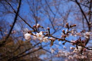 桜の花の写真素材 [FYI01209038]