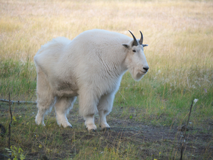 シロイワヤギ または マウンテンゴートの写真素材 [FYI01209045]