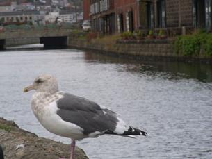 小樽運河とウミネコの写真素材 [FYI01209072]