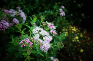ピンクの花の写真素材 [FYI01209099]