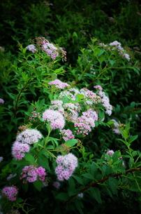 ピンクの花の写真素材 [FYI01209100]