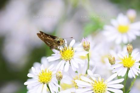 チョウ ・ イチモンジセセリの写真素材 [FYI01209189]