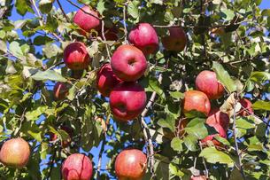 収穫期を迎えたサンフジ 林檎の写真素材 [FYI01209357]