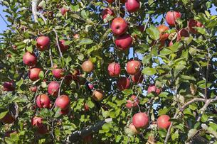 収穫期を迎えたサンフジ 林檎の写真素材 [FYI01209358]