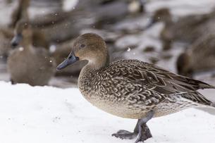 冬の猪苗代湖で越冬するオナガガモの写真素材 [FYI01209360]