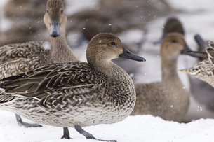 冬の猪苗代湖で越冬するオナガガモの写真素材 [FYI01209361]