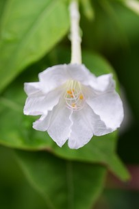 オシロイバナ ・ 同じ草から異なる色の花が咲くことから Marvel of Peru(ペルーの驚異)の別名。の写真素材 [FYI01209385]